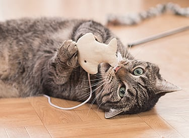 Pet Dental Care in Farmington Hills: Cat Playing With Toy